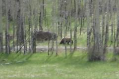 phoca_thumb_l_wildlife_bear 076 1