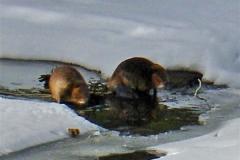 phoca_thumb_l_wildlife_beavershorca