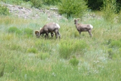 phoca_thumb_l_wildlife_bighorn sheep keck