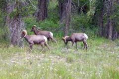 phoca_thumb_l_wildlife_bighorn-sheep-keck2
