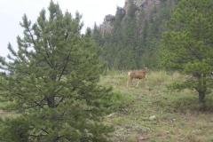phoca_thumb_l_wildlife_carolyns deer