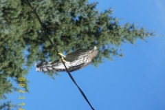 phoca_thumb_l_wildlife_falcon