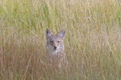 phoca_thumb_l_wildlife_fox in the meadow at sheep creek-lb