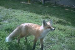 phoca_thumb_l_wildlife_foxy lady 5