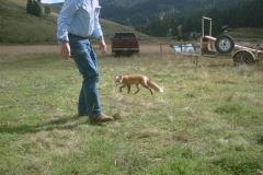 phoca_thumb_l_wildlife_foxy lady and bill