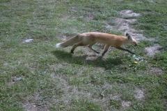 phoca_thumb_l_wildlife_foxy lady3